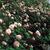 Modern Roses: Rosa 'Cecile Brunner'