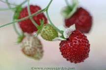 Strawberry_fragaria_vesca_mignonette.medium.detail