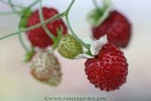 Strawberry_fragaria_vesca_mignonette.medium.full