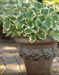 pot of plectranthus