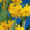 Daffodil, Tazetta 'Grand Soleil d'Or'