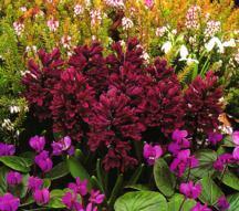 Hyacinths_hyacinthus_orientalis_distinction-1.full