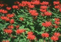 Bee Balm, 'Gardenview Scarlet'