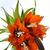 20100406_8166-rubra-maxima-fritillaria-web.small