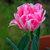 20100415_8547-copyfoxtrot-tulipweb.small