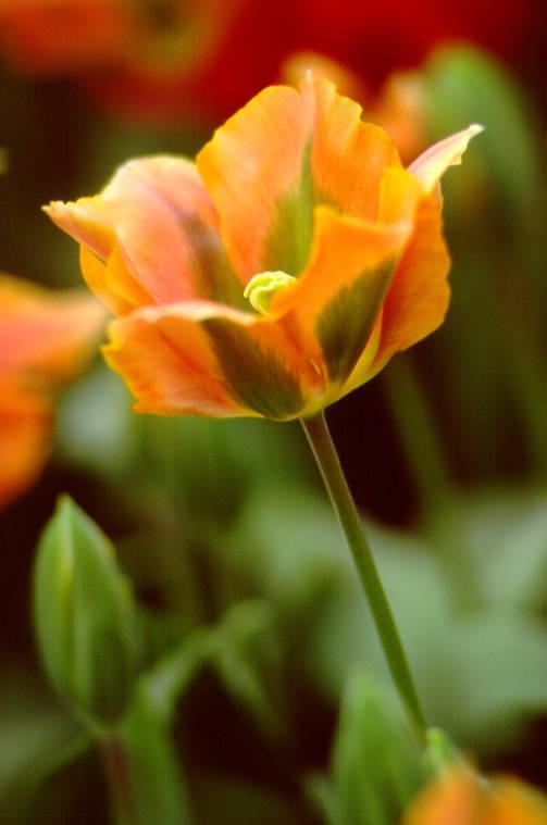 Tulips_tulipa_artist-1.full