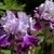 Iris: iris germanica 'almost camelot'