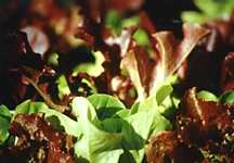 Lettuce, Looseleaf Oak Leaf