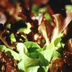 Lettuce, Looseleaf Oak Leaf