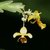 Lockhartia_lunifera.small