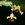 Orchids: Lockhartia lunifera