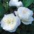 Modern_roses_rosa_fair_bianca-1.small