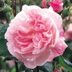 Antiques_rosa_fantin-latour-1.thumb