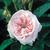Antiques: Rosa 'Félicité Parmentier'