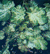 Coral Bells, 'Splish Splash'