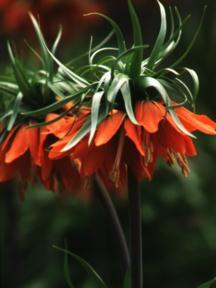 Crown Imperial, 'Aurora'