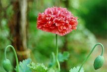 Annuals_papaver_paeoniflorum_pink-1.full