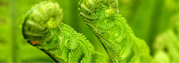 Green_fern_by_woodfog.full