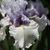 Iris: iris germanica 'fogbound'