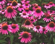 Coneflower, Purple 'Bright Star'