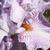 Iris: iris germanica 'gnu'