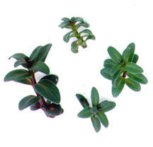 Mint_pycanthemum_pilosum-1.full