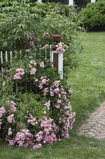 Garden Gate surrounded by an antique rose bush