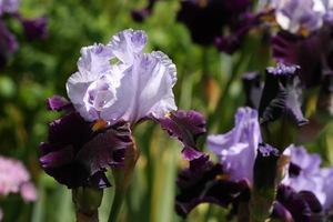 Iris, tall bearded, 'habit'