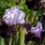 Iris: iris germanica 'habit'