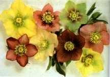 Lenten Rose, Hybrid