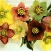 Perennials_helleborus_hybrids-1.thumb