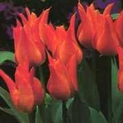 Tulip, Lily-flowered 'Ballerina'