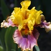 Iris_iris_germanica_in_living_color-1.thumb