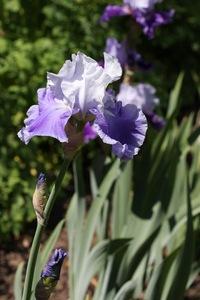 Iris, tall bearded, 'keizer's heritage'
