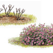English_rose_planting.thumb