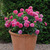 Rosa_princess_anne_in_pot.small