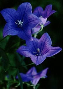 Perennials_platycodon_grandiflorus-1.full