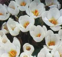 Crocus_crocus_chrysanthus_white_triumphator-1.full