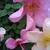 Bestrose_antique_mutabilis.small