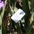 Iris: iris germanica 'mary frances'