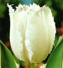 Tulips_tulipa_swan_wings-1.full