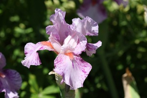 Iris, tall bearded, 'mean streak'