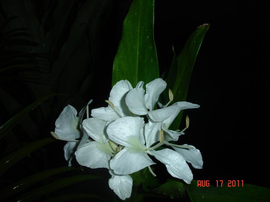 Hedychium_coronarium.full