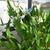 Gingers: Hedychium coronarium