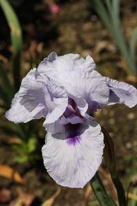 Iris, tall bearded, 'mohr pretender'