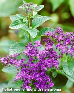 Romantic Plants Year Round Fragrance In The Garden