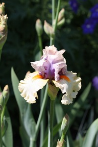 Iris, tall bearded, 'opposing forces'