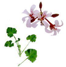 Scented Geranium, Clove