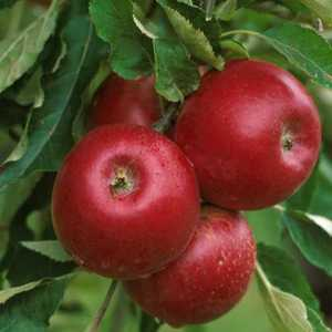 Apple Tree, 'Red Jonathan'