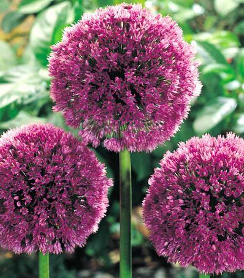 Alliums_allium_lucy_ball-1.full